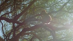 Lonely little monkey sits on branch of large tree on Rock of Gibraltar in sunlight. Lonely little monkey sitting on branch of large tree on rock of Gibraltar in stock video footage