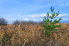 Lonely little pine tree in field Stock Photos