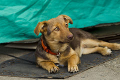 Lonely little puppy. Single small puppy lying on a mat on the street, natural light stock photography