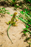 A lonely lizard Stock Images