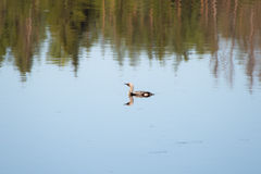 Lonely loon Stock Image