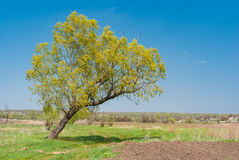 Lonely, lop-sided willow at riverside at spring season Stock Photography