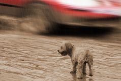 Lonely puppy in heavy rain. Look of hope. The lonely lost wet puppy is in heavy rain and looking around with hope . The speedy red car is dangerously passing royalty free stock photos