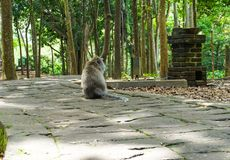 Lonely macaque monkey sitting on the big stone waiting his friend in the garden stock photography