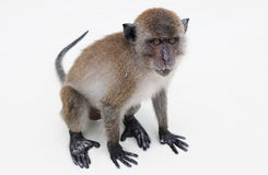 Lonely macaque on white isolation Stock Images