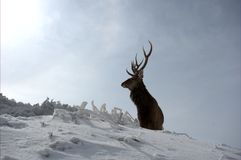 Lonely male deer. A male deer in the snow went away alone Royalty Free Stock Photography