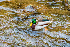 Lonely male duck Drake on the river Royalty Free Stock Image