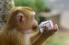 Lonely male long-tail mountain monkey drinking juice from a package, close up. macaca in Thailand Royalty Free Stock Photography