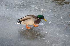 Lonely male of mallard walking on a frozen river. Dnipro in search of ice-hole Royalty Free Stock Photography