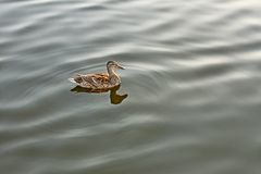 Lonely mallard on calm water. Lonely wild duck floating on calm water Royalty Free Stock Photos