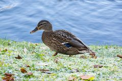 View of lonely mallard duck. Lonely mallard duck on the shore of the pond Royalty Free Stock Photos