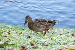 View of lonely mallard duck. Lonely mallard duck on the shore of the pond Royalty Free Stock Photo