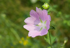 Lonely Malva flower Royalty Free Stock Image