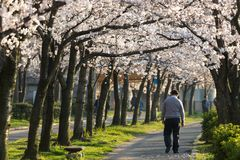 Lonely Man Walking Along Cherry Tree Blossom Stock Images