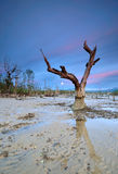 Lonely Mangrove Old Tree. Mangrove tree near the beach at blue hour royalty free stock image