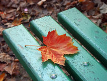 Lonely maple leaf Royalty Free Stock Images