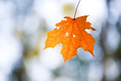 Lonely maple leaf Royalty Free Stock Photography