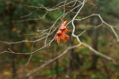 Lonely maple leaf on a branch Royalty Free Stock Photo