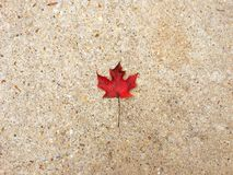 Lonely Maple Leaf Stock Photography