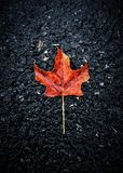 Lonely Maple leaf. Stock Photography