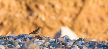 Lonely Mistle Thrush Stock Images