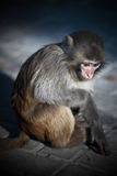 Lonely Monkey. It's a lonely Monkey in the Cage Stock Photos