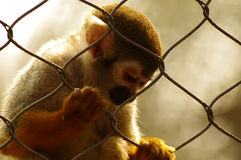 Lonely monkey. We should take good care of wild animals Royalty Free Stock Photography