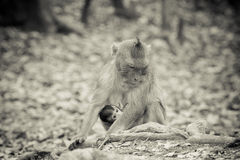 Lonely monkey Royalty Free Stock Image