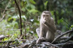 Lonely monkey in forest. Lonely monkey in rain forest Royalty Free Stock Photos
