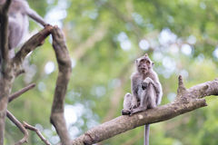 Lonely monkey macaque on tree branch Stock Photography