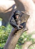 Lonely monkey sitting on top of a large tree trunk Royalty Free Stock Photography