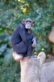 Lonely monkey sitting on top of a large tree trunk Stock Photography