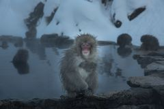 Lonely monkey in onsen royalty free stock image