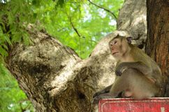 Lonely monkey on the tree. Little monkey sitting lonely on the large tree Royalty Free Stock Photography