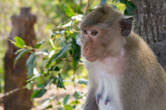 Lonely monkey. Waiting for spouse Stock Image