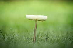 Free Lonely Mushroom In The Dew Stock Image - 171355161