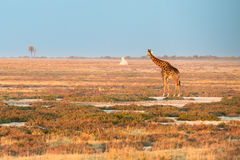 A lonely Namibian giraffe is looking at a distant termitary Royalty Free Stock Image