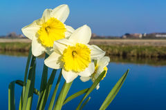 Lonely narcissus Stock Image