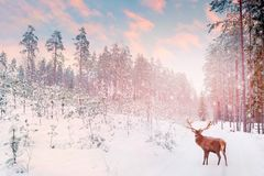 Lonely noble deer mail with big horns against winter fairy forest against sunset. Royalty Free Stock Photography