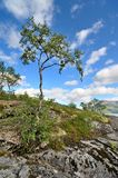Lonely northern birch growing on the rocks Stock Images