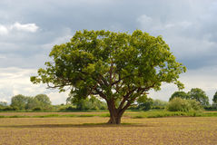Lonely Oak. Tree in the middle of a field that has just been frshly planted with new crops a combination of old and new Stock Photo