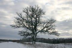 Lonely oak. In winter landscape Royalty Free Stock Image