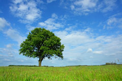 Lonely Oak. In a meadow near Berlin (Germany Stock Image