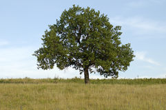 Lonely oak. Lonely beautifull tree in the meadow Stock Photo