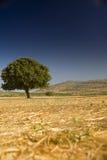 Lonely oak in a field Stock Photos