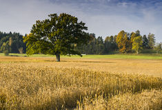 Lonely oak  in the field of ripe barley Royalty Free Stock Photos