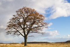 Lonely Oak In Autumn Royalty Free Stock Photography