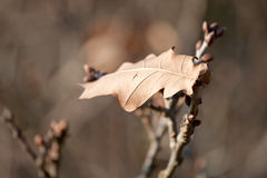 Lonely oak leaf in late autumn. An oak leaf left over in late autumn on a small tree in the coastal area of Bergen, The Netherlands Stock Photo
