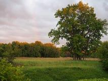 Lonely oak Royalty Free Stock Photo