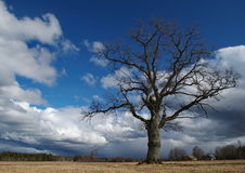 Lonely oak Royalty Free Stock Photography